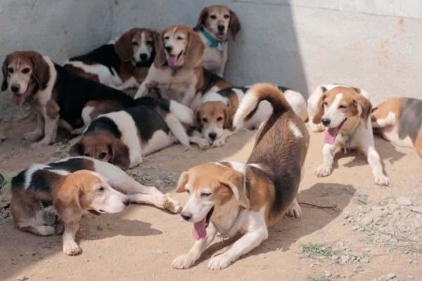 Beagles experiencing the sun