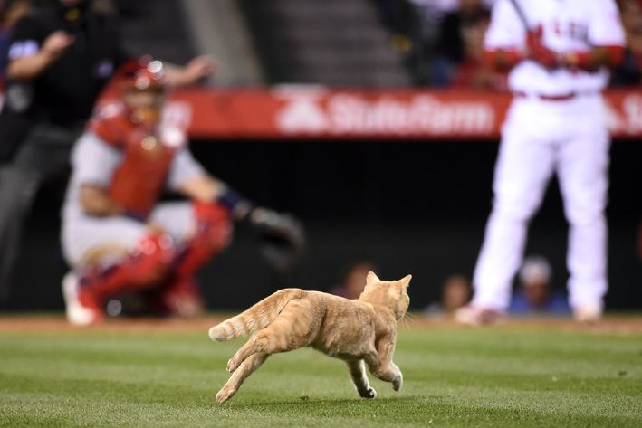 Cat On The Field Baseball Game Cardinals