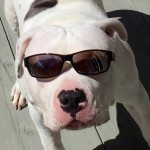 Healthy Will the Pit Bull