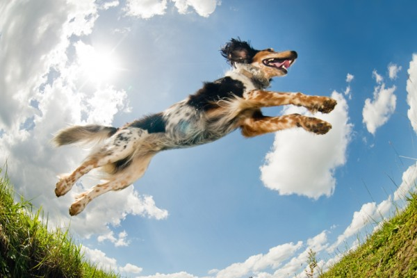 Mix breed dog caught in the middle of a jump