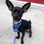 Quirky Chihuahua adopted