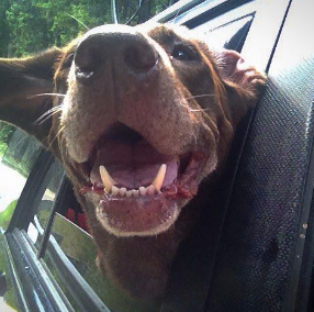 Bella, on the Blueridge Parkway loving the fresh air, and breeze.  What a smile!