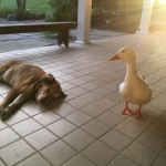 Duck and dog friends
