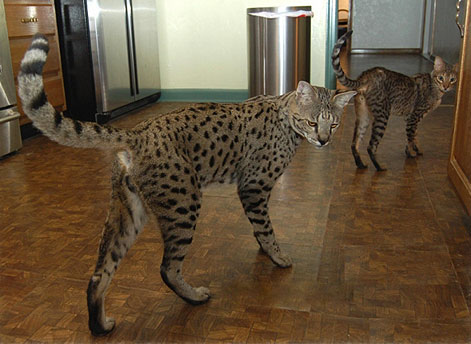 savannahcat2