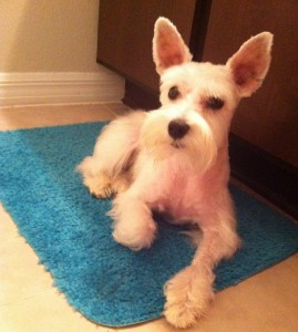 After being groomed - schnauzer cut