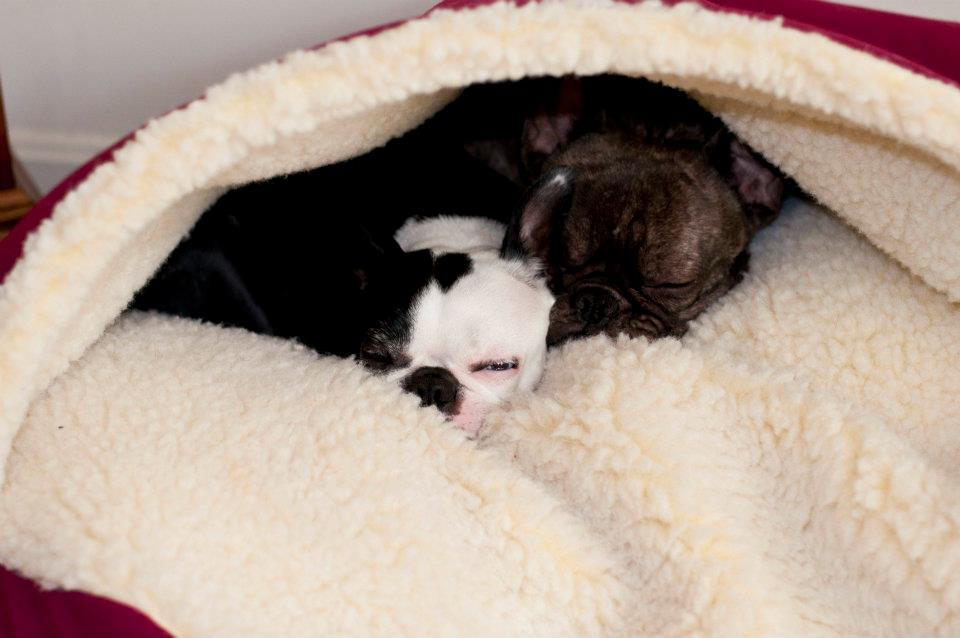 Boston Terriers In The Cozy Cave