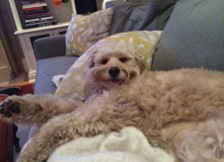 Goldendoodle lying on the couch