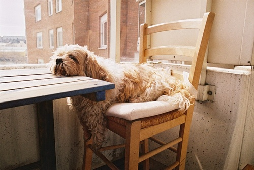 Dog waiting for his meal at the table