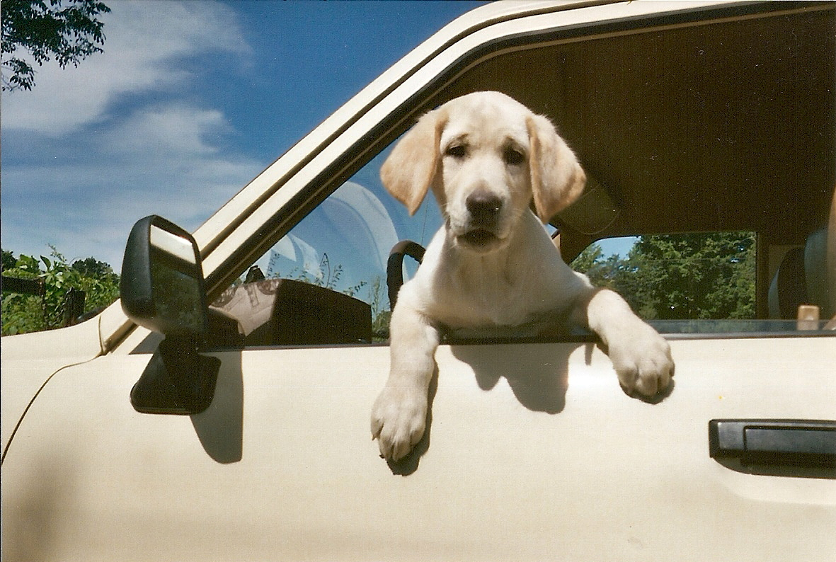 golden retriever puppy in car