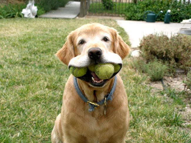 dog with mouthful of tennis balls