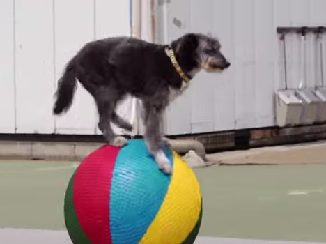 Japanese Dog Circus is saving abandoned dogs