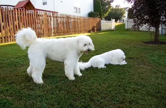 Dog throws a tantrum