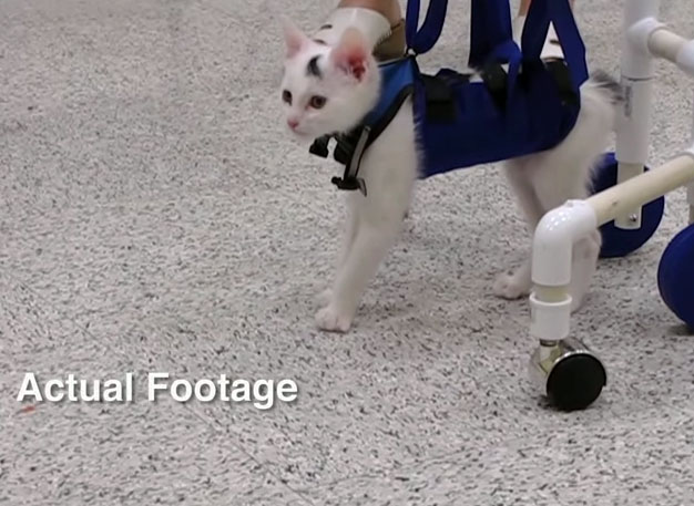 kitten born with disorder learns to walk