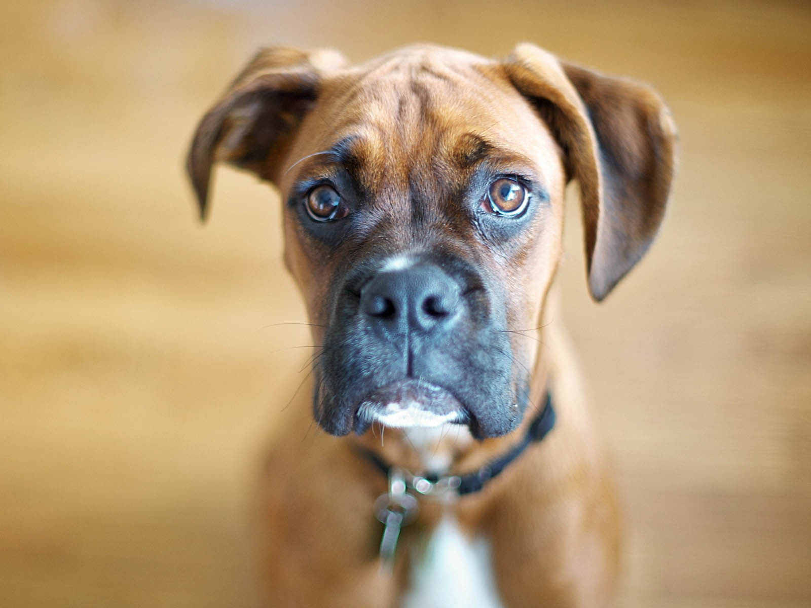 Good Cutest Brown Adorable Dog - BoxerDog-Wallpapers-7  2018_421171  .jpg