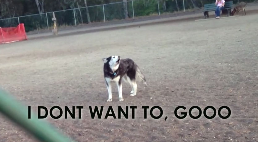 Husky doesn't want to leave the park