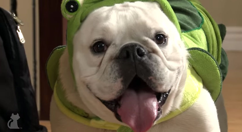 lily the bulldog loves her turtle suit