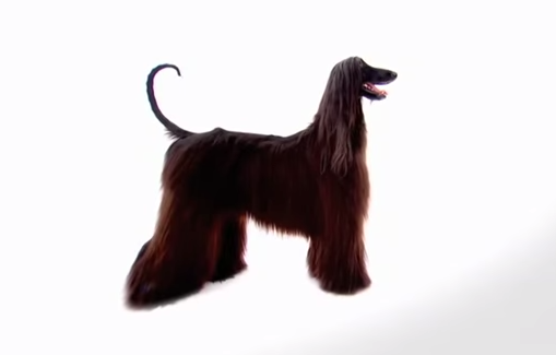afghan hound Archives | 3MillionDogs