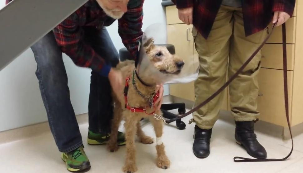 blind dog seeing owners after surgery