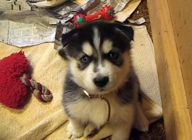 Husky Puppies At 5 Weeks Old Whining For Attention
