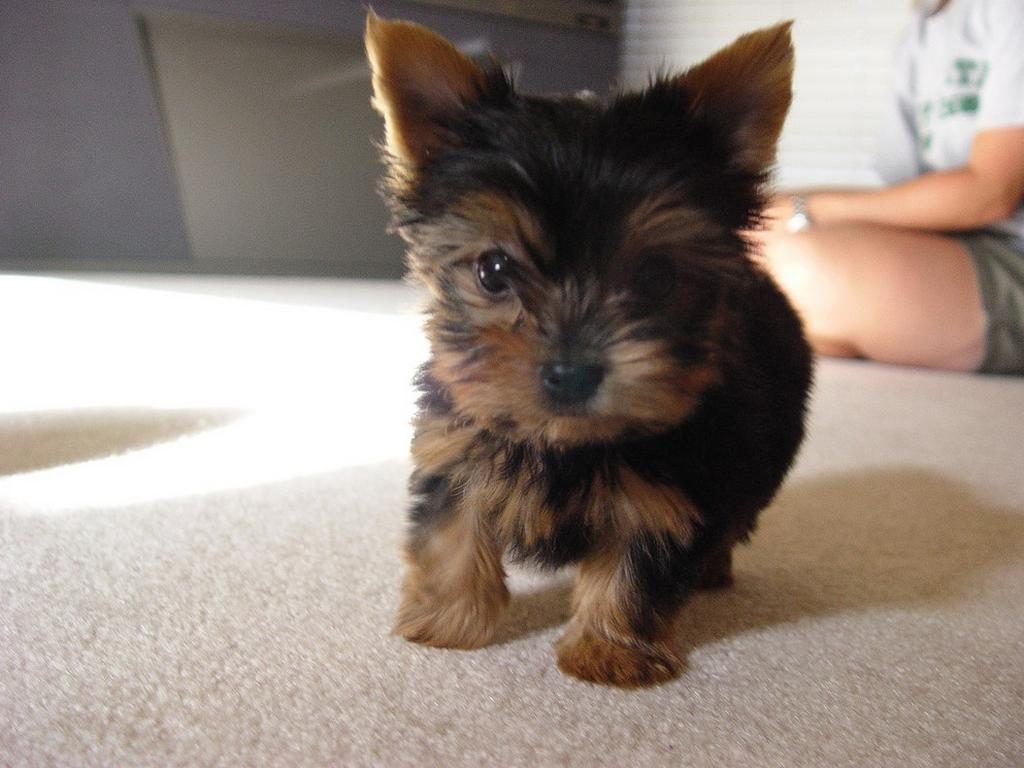 Cute Yorkie Video Archives 3milliondogs