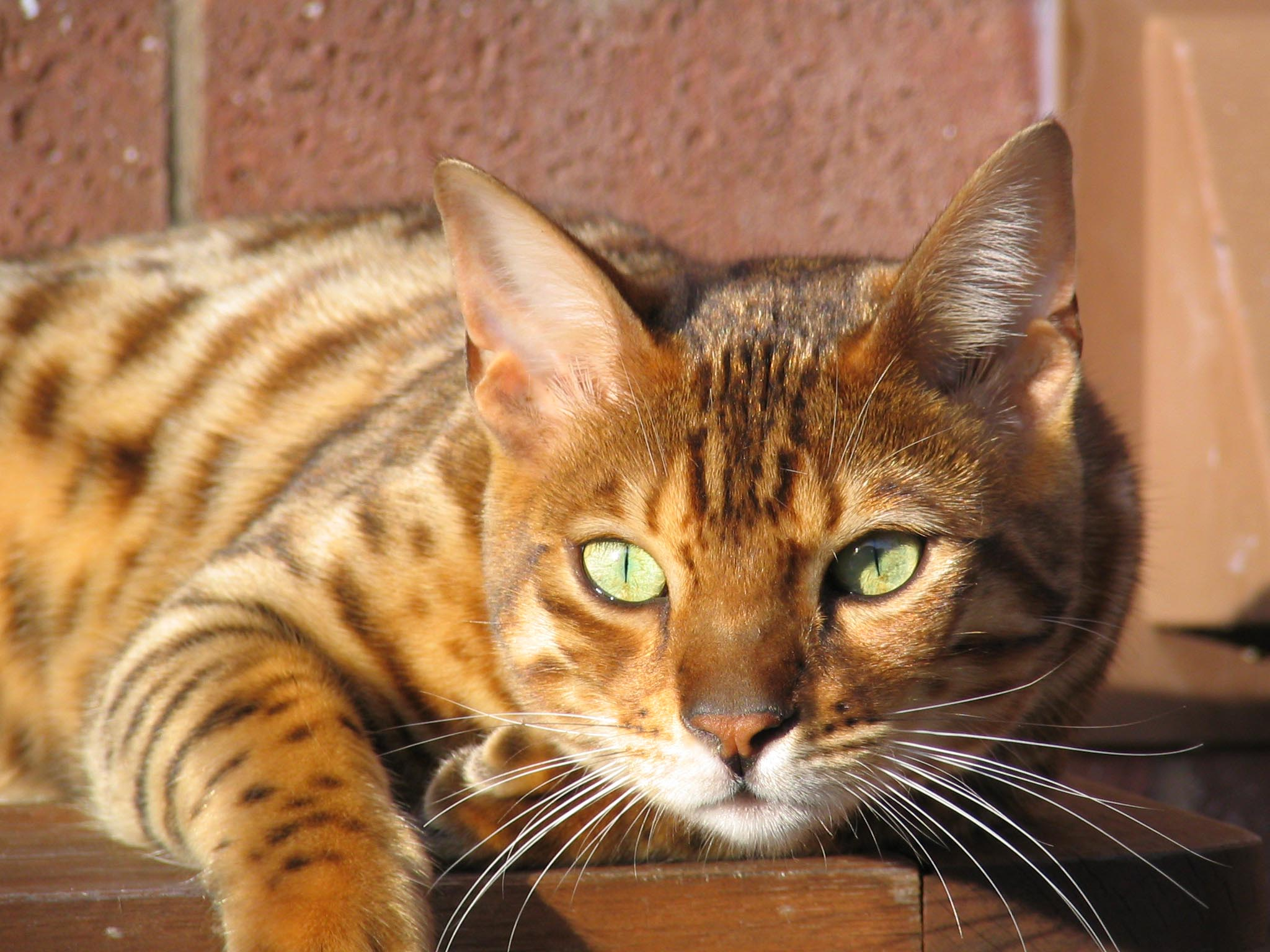 7 things you should know before getting a bengal cat