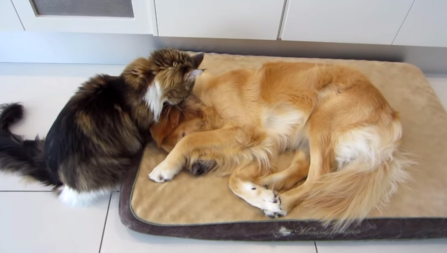 Maine Coon Tries Really Really Hard To Wake Up His Golden