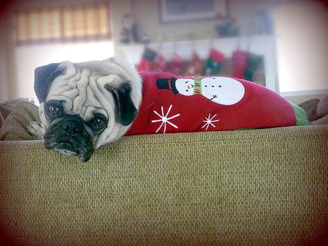 Pug-in-Holiday-sweater