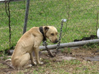 chaining dogs