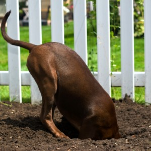 Dogs will dig as a way to escape.