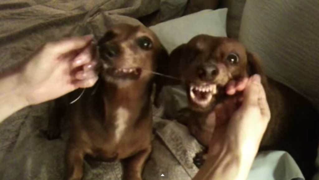These Dachshunds Take Dental Hygiene Seriously