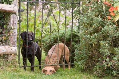 Dogs can easily sneak under a fence.