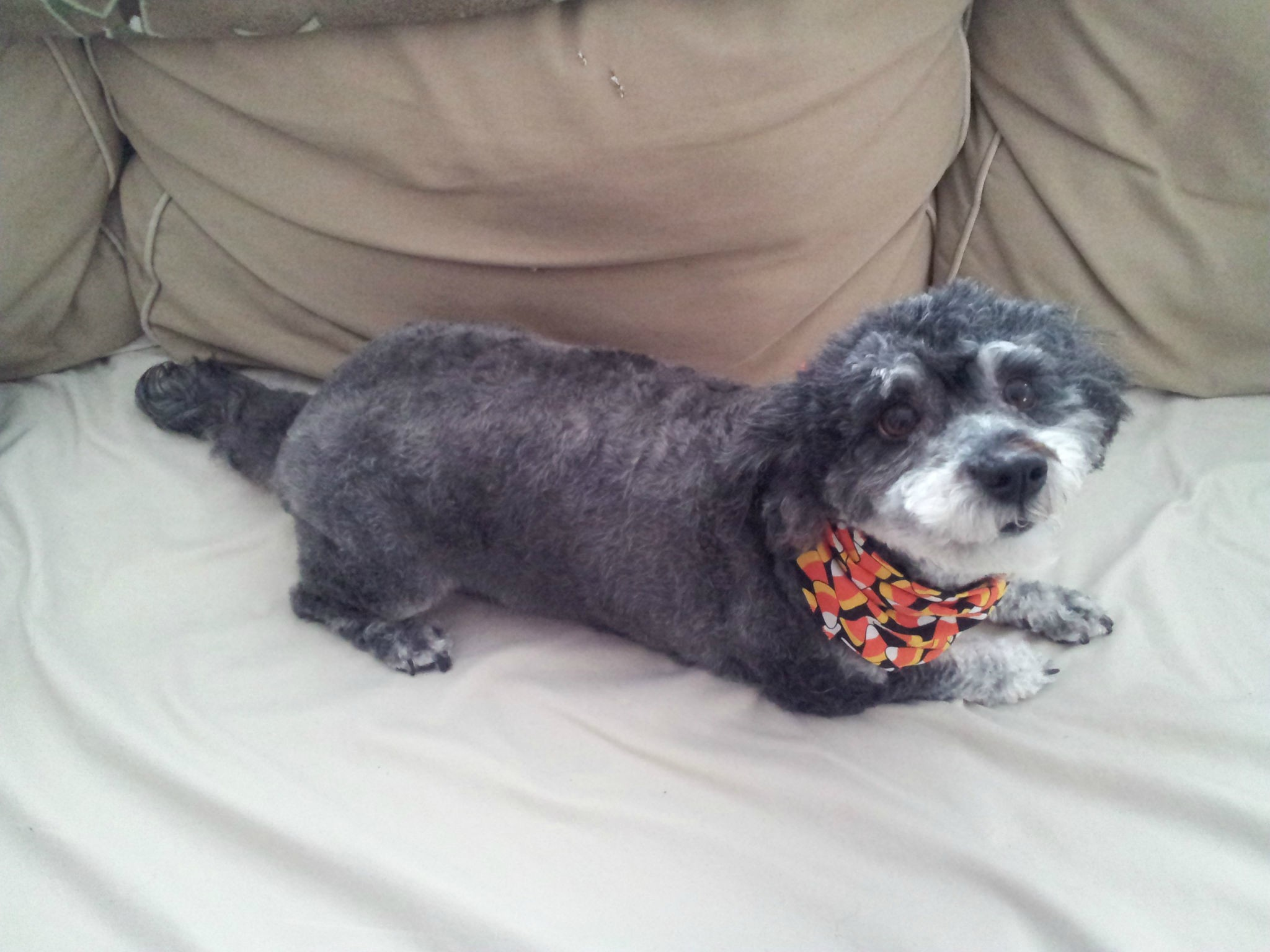 The Schnoodle
