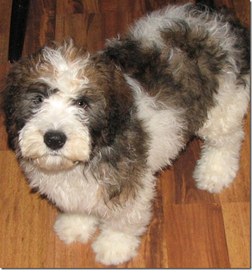 The St. Berdoodle