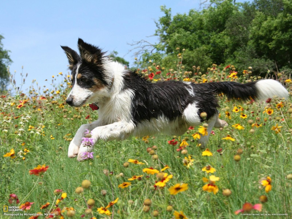 Animals___Dogs_Happy_border_collie_is_running_on_a_flower_meadow_051024_