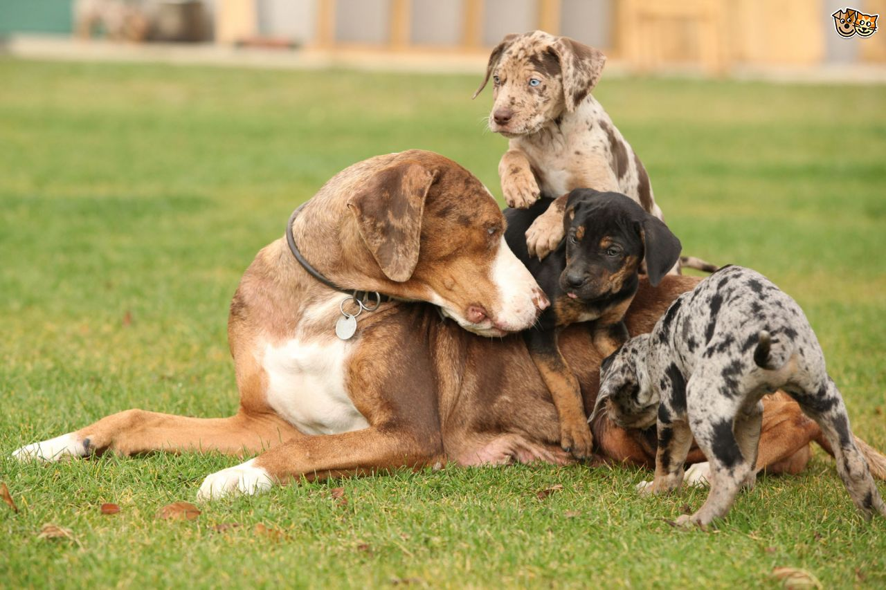 Catahoula Dog Breed Facts