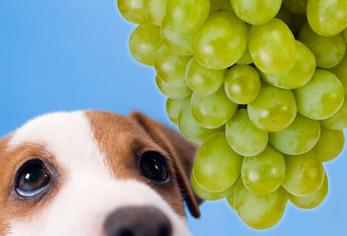 Your Dog Accidentally Ingests Grapes