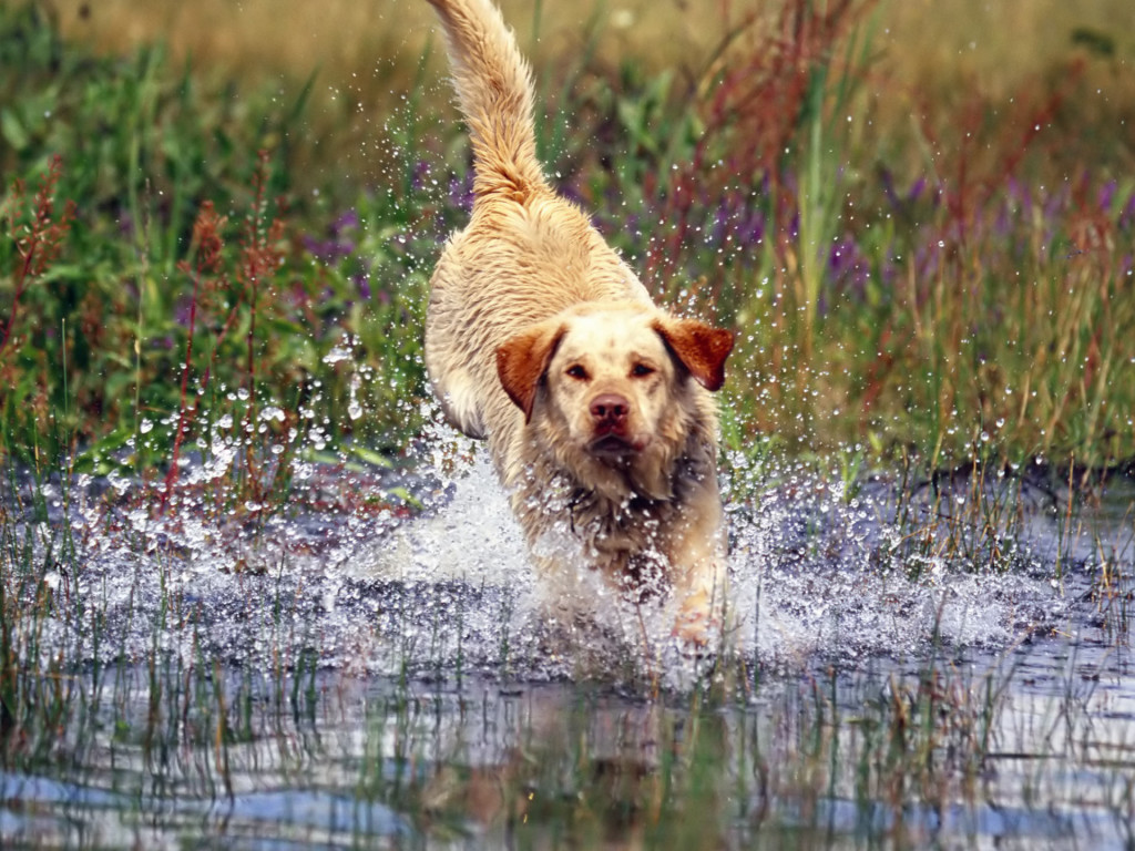 running-labrador-retriever-dog-wallpaper
