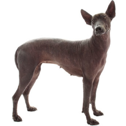 5 Of The Most Unusual Dog Breeds In