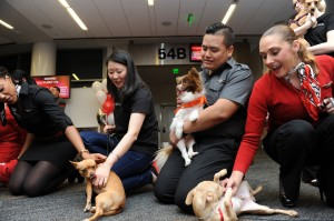 It-is-a-dogs-life-as-they-prepare-to-take-the-Virgin-America-Chihuahua-Airlift-to-New-York