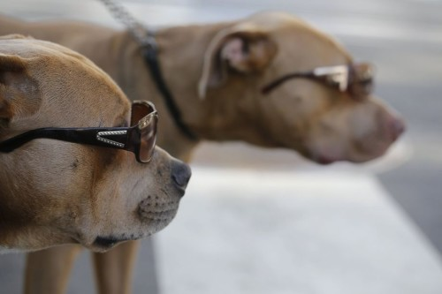 Pitbulls in Sunglasses 7