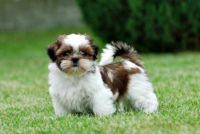 10 Awesome Things You Should Know About Shih Tzus