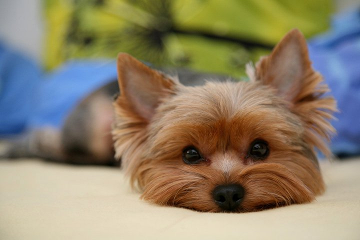 10 Facts About Yorkies Archives 3milliondogs