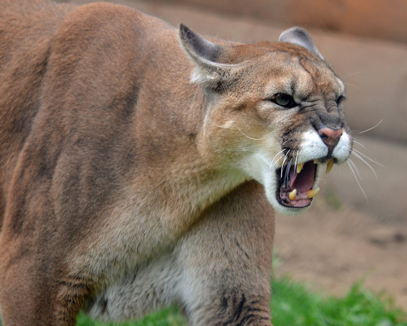 Pictures Of Naked Cougars