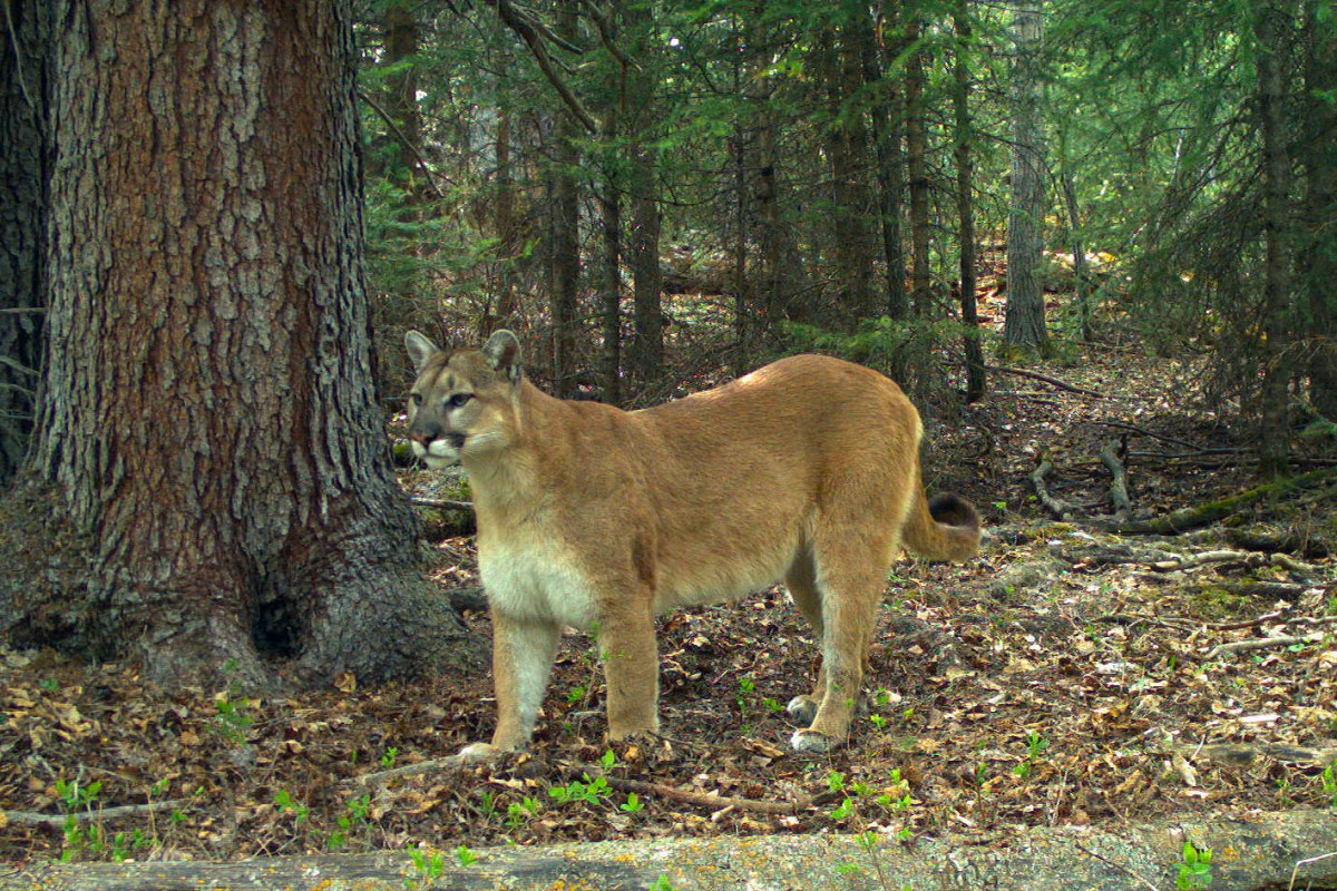 Heroic Half Naked Man Saves Dog From Deadly Cougar Attack -8707