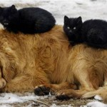 How These Cats Use These Dogs As Pillows May Be The Cutest