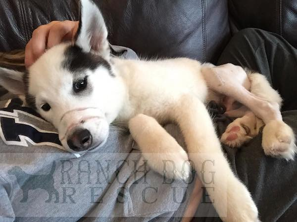 Two Broken Legs, Nose Bound Shut With Band - 5 Month Old Puppy Recovering After Abuse