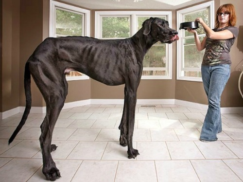 A Great Dane Named Zeus Held The Guinness World Record For Being S Tallest Dog Sadly He D In 2017 At Age Of 5