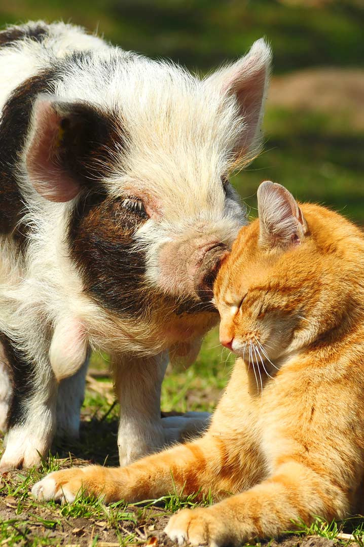 You've Got To See What Happens When A Pig And A Cat Become Best Friends