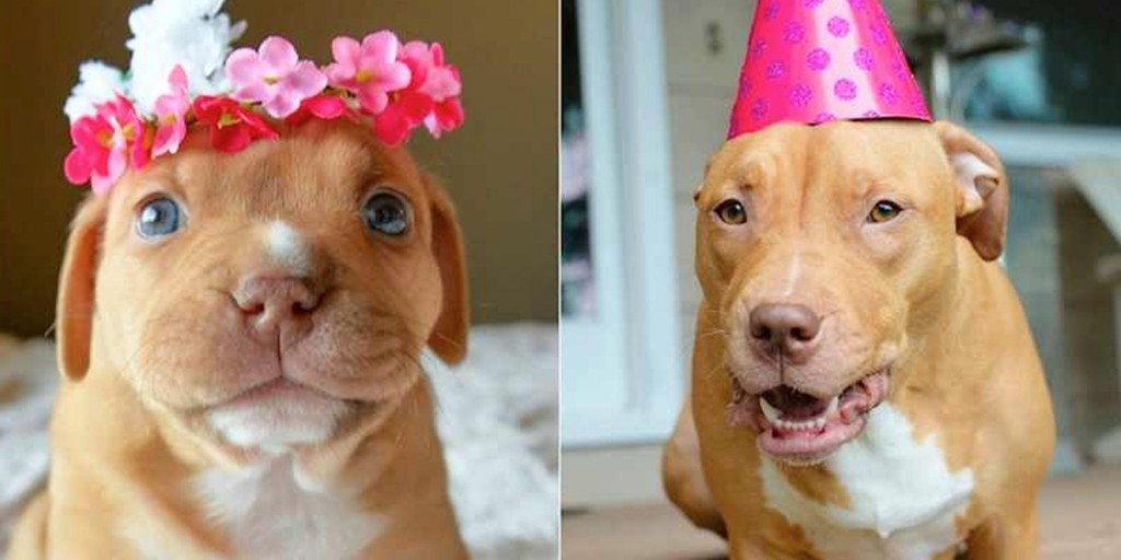 Sweet Penny The Miracle Pitbull Celebrates Her First