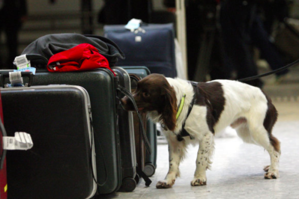 Manchester Airport sniffer dogs